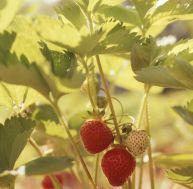 Comment planter des fraisiers ?