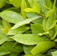 Planter un laurier sauce