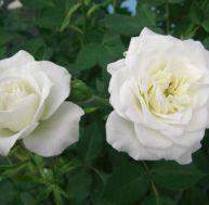Planter et entretenir ses rosiers