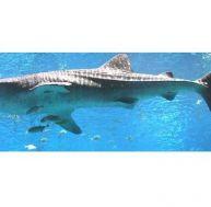 Le requin-baleine, un monstre débonnaire !