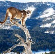Le puma ou un lion des montagnes ?