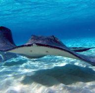 Les raies : des requins aplatis