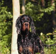 Le setter gordon © Bluesik/wikipedia