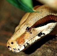 Tête de python, de boa ou d'anaconda ?