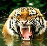 Le tigre ! Bientôt rayé de la carte...