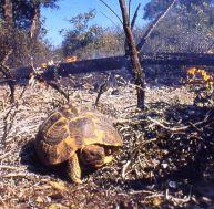 Dans le massif des maures, tortue d'Hermann tentant de fuir un incendie - ©Village des Tortues (SOPTOM)