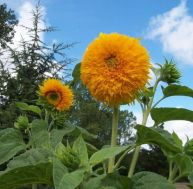 La culture des tournesols