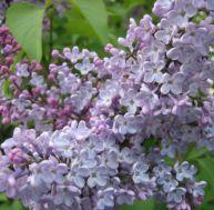 Les lilas sont ravissants dans un jardin