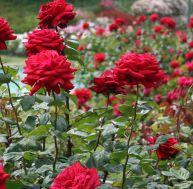 Les différents types de rosiers