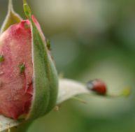 Un parasite sur un rosier -© F. Marre