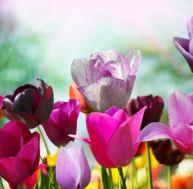 Tulipes : les différentes variétés