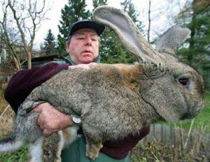 Robert, la vedette, présent sur tous les sites, le plus gros lapin du monde, 10,5 kg pour 74cm.