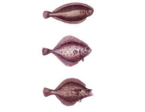 Poissons plats : soles, turbot, flétan, plies…