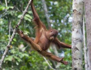 Les orangs-outans sont des mammifères arboricoles