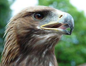 L'aigle royal est un des principaux prédateurs de la marmotte