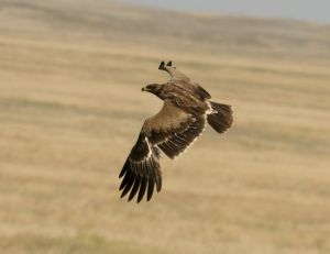 Aigle des steppes © Outback Images