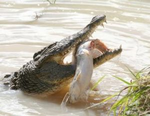 Un alligator mange un poisson