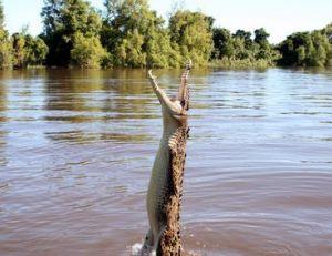 Saut hors de l'eau d'un alligator