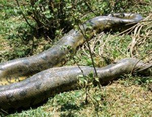 L'anaconda vert
