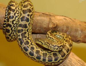 L'anaconda jaune
