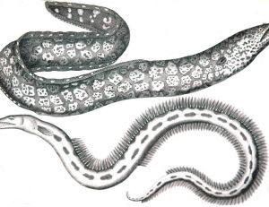 Anguilliformes en tous genres représentés dans cette gravure