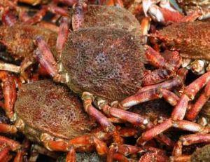 Les araignées sont pêchées en abondance sur les côtes de la Manche