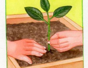 Planter les boutures de sauge