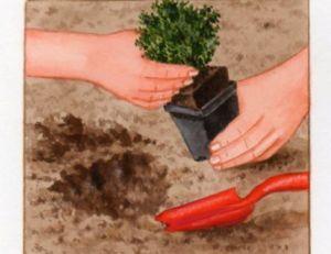 Plantation du thym