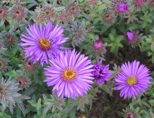 Asters : des fleurs pour l'automne