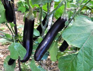 Culture des aubergines