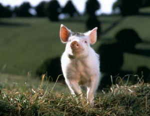 Babe, le cochon devenu berger © Universal Pictures