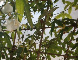 Treille pour former un mur végétal