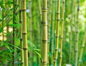Certaines variétés de bambou sont plus faciles à entretenir que d'autres - iStockPhoto