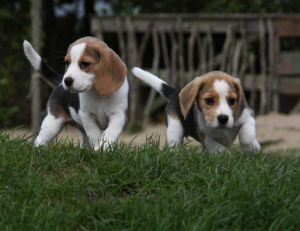 be/beagle.jpg