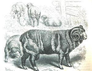 Bélier de mouton mérinos