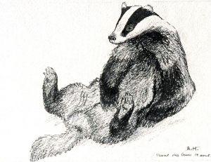 Dessin de Robert Hainard intitulé « Blaireau se grattant le ventre » © Fondation Hainard