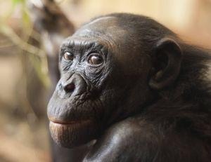 Les bonobos auraient une faculté à apprendre comparable à celle d'un enfant