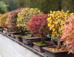 Différentes espèces de bonsaïs