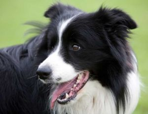 Adopter un chien : le Border Collie
