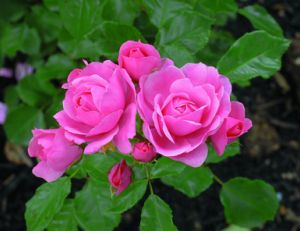 Bouture des rosiers