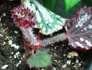 Bouturer des plantes d'intérieur : bouturage de bégonia