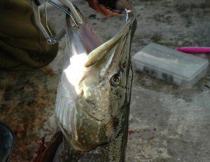 Où pêcher le brochet