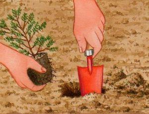 Plantation de la bruyère