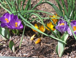 Planter des bulbes - Crocus