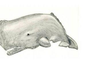 Cachalot adulte © Mélodie
