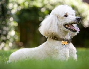 Choisir la race de son chien : le Caniche