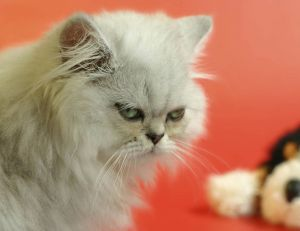 Votre chat projette-t-il vraiment de vous faire du mal ?