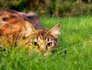 Monstre assoiffé de sang malgré lui, le chat est un chasseur hors pair dont les maîtres ignorent tout ou presque - Copyright wikimedia commons / Jennifer Barnard