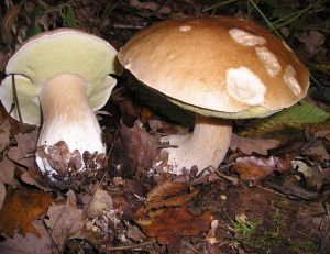 Quelques précautions d'usage s'imposent, en matière de cueillette de champignons... -©Strobilomyces