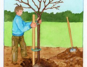 Planter le cerisier avec un tuteur